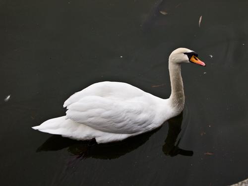 皇居の白鳥 1の高画質画像