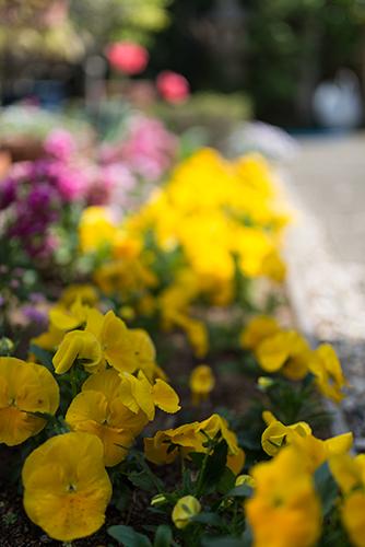 パンジーの花壇の高画質画像