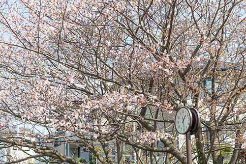 桜・サクラの花 24の高画質画像