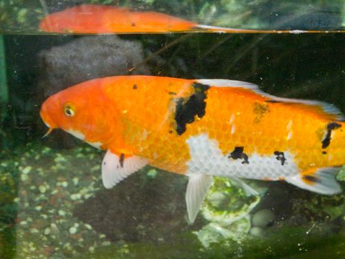 鯉 4の高画質画像