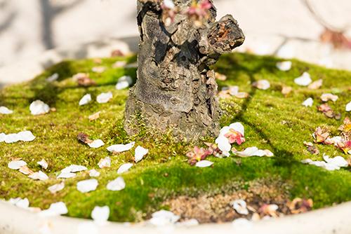 散った桜の高画質画像
