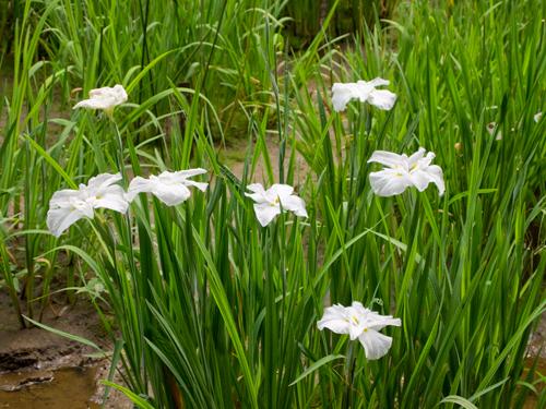 御苑の花菖蒲 3の高画質画像