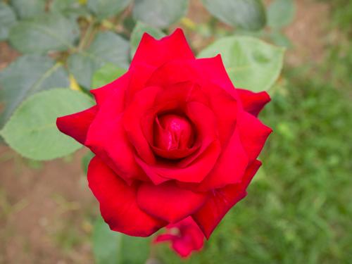ピンクの薔薇の高画質画像