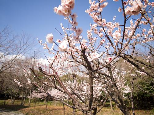 桜 6の高画質画像