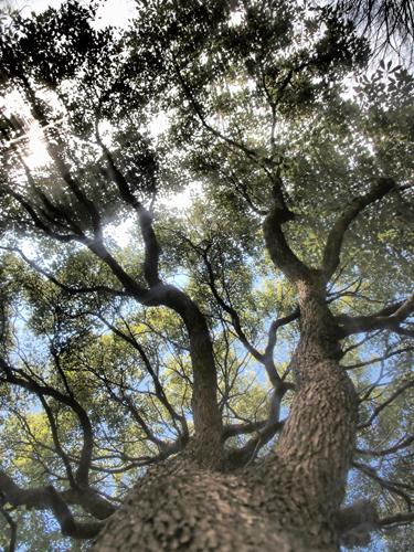 巨大な木 11の高画質画像