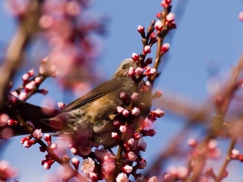 桜とヒヨドリの高画質画像
