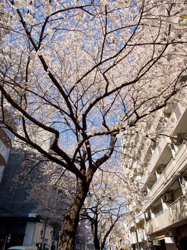桜 13の高画質画像