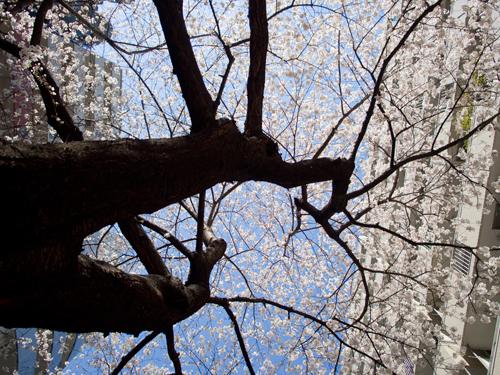桜の高画質画像