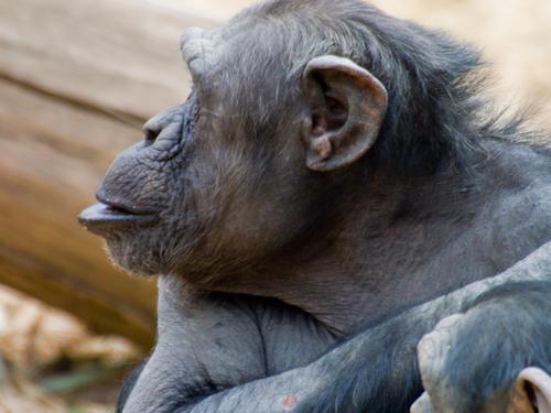 チンパンジー 5の高画質画像