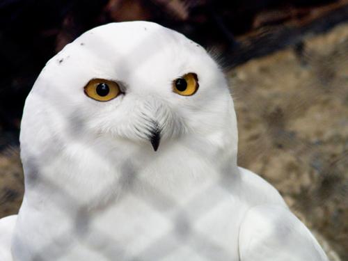 シロフクロウ 5の高画質画像