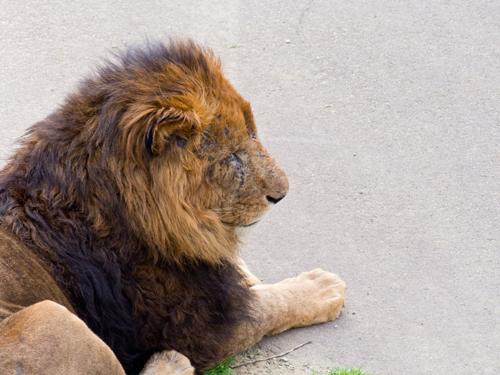 ライオン 1の高画質画像