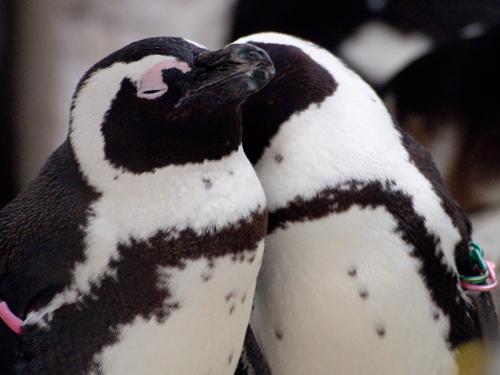 ケープペンギン 5の高画質画像