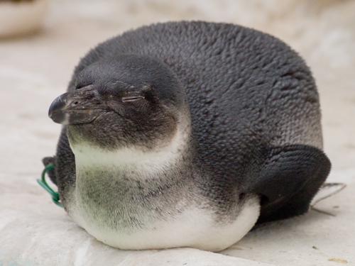 ケープペンギンの赤ちゃんの高画質画像