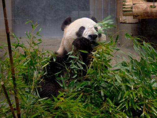 シンシン・リーリー、上野動物園のパンダ 3の高画質画像