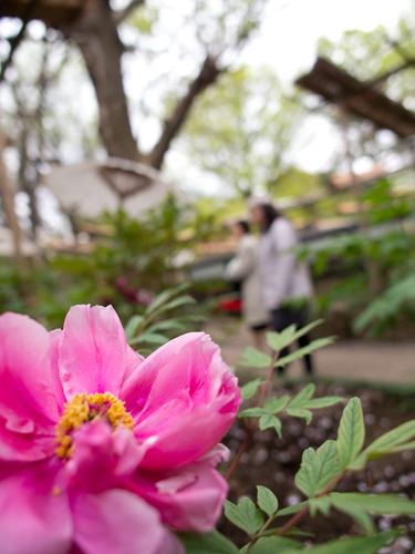 牡丹の花の高画質画像