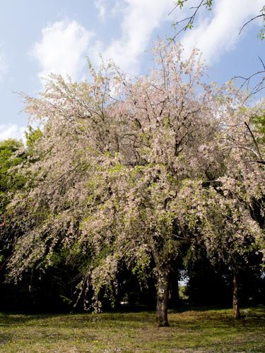 神代植物公園の桜 3の高画質画像