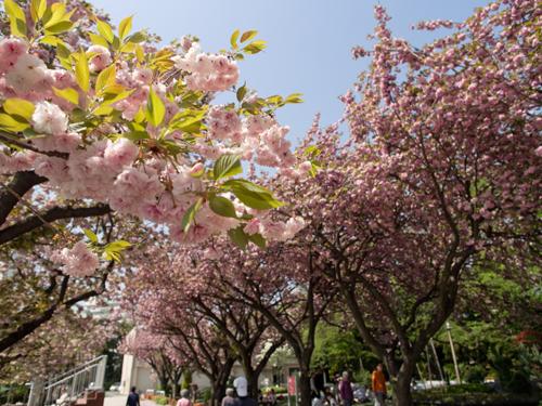 馬事公苑の桜 1の高画質画像