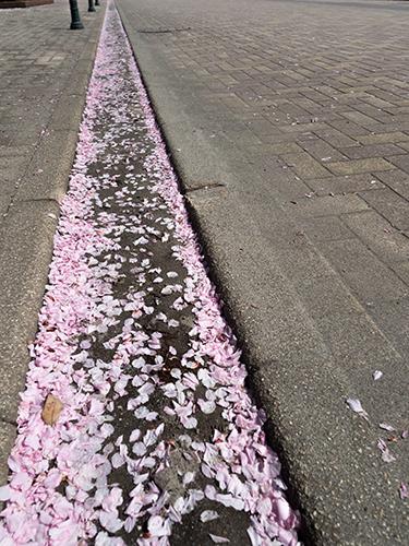 馬事公苑の桜 2の高画質画像