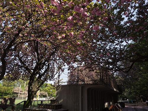 馬事公苑の桜 7の高画質画像