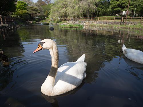 日本庭園の白鳥、馬事公苑 3の高画質画像