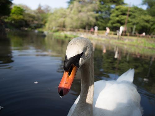 日本庭園の白鳥、馬事公苑 10の高画質画像