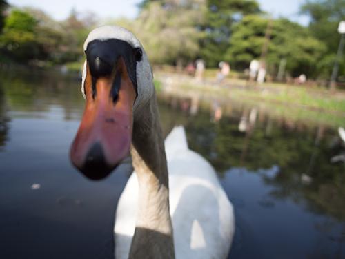 日本庭園の白鳥、馬事公苑 11の高画質画像