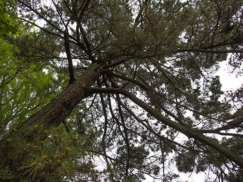 杉、小石川植物園 1の高画質画像