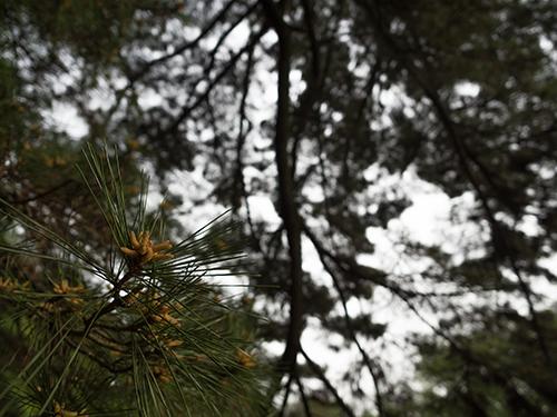 杉、小石川植物園の高画質画像