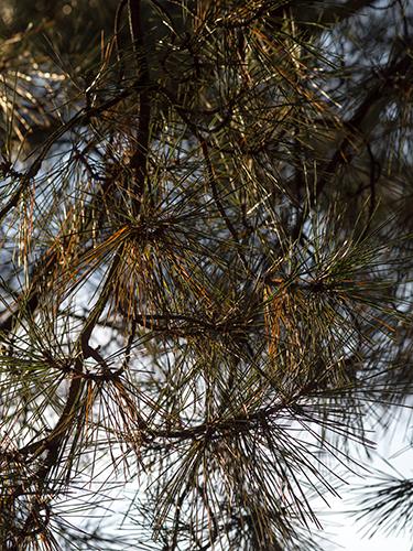 松の葉 1の高画質画像