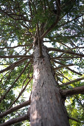 巨大な杉の木の高画質画像