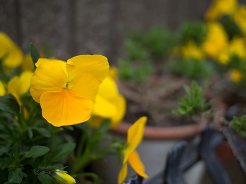 黄色のパンジーの高画質画像