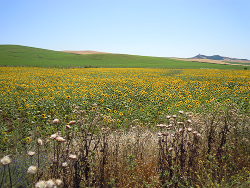 ひまわりの畑、ロンダ 1の高画質画像