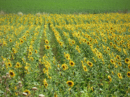 ひまわり畑、スペイン 2の高画質画像