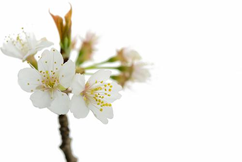 桜の枝 1の高画質画像