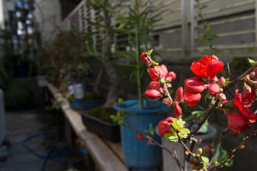 ボケ (木瓜) の花 7の高画質画像