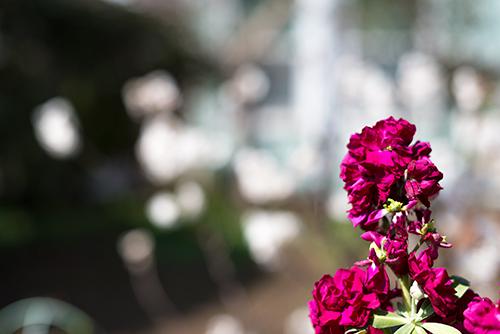 ストックの花 1の高画質画像