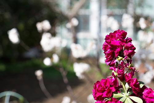 ストックの花 2の高画質画像