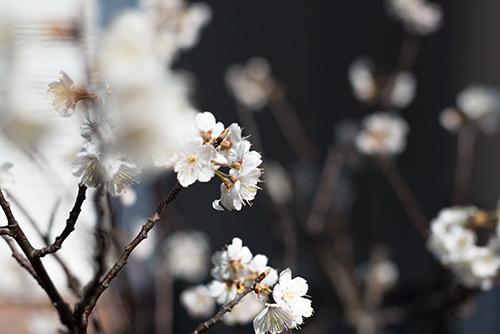 桜の花 1の高画質画像
