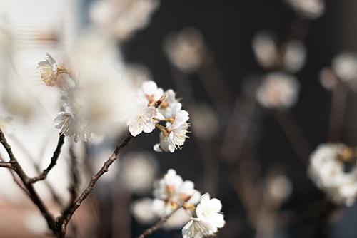 桜の花 2の高画質画像