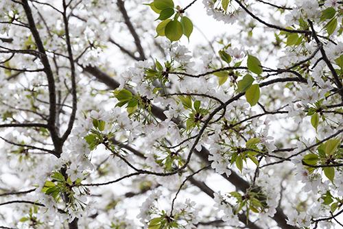 桜・サクラの花の高画質画像