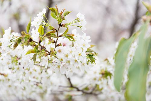 桜・サクラの花 3の高画質画像