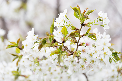 桜・サクラの花 4の高画質画像