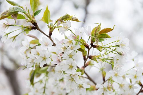 桜・サクラの花 8の高画質画像