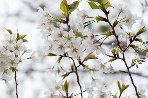 桜・サクラの花 9の高画質画像