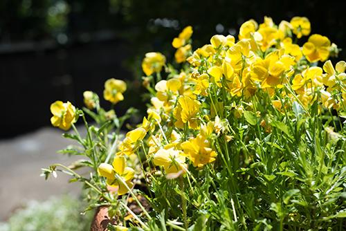 パンジーの花の高画質画像