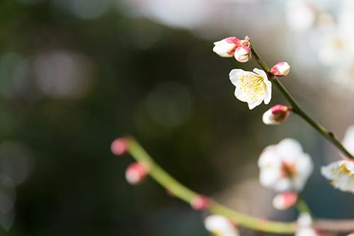 桜・サクラの花 29の高画質画像