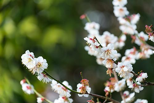 桜・サクラの花 31の高画質画像
