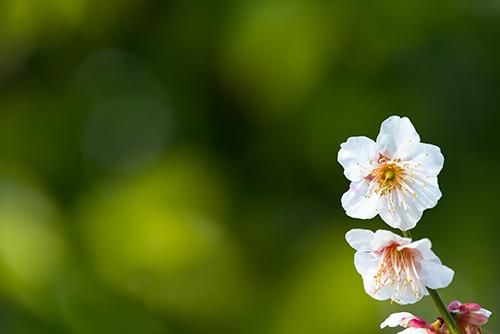桜・サクラの花 32の高画質画像