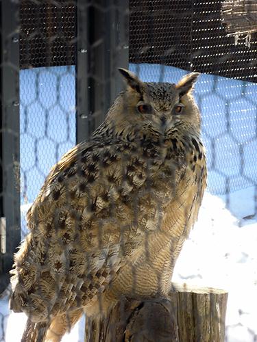 ワシミミズク、旭山動物園の高画質画像