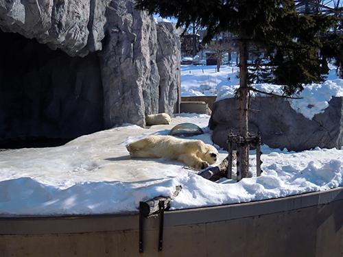 ホッキョクグマ、旭山動物園の高画質画像